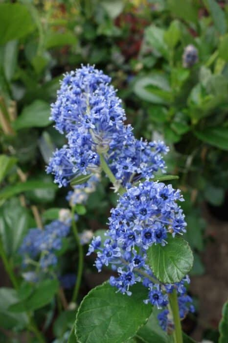 ceanothus arboreus trewithen blue amerikaanse sering. Black Bedroom Furniture Sets. Home Design Ideas
