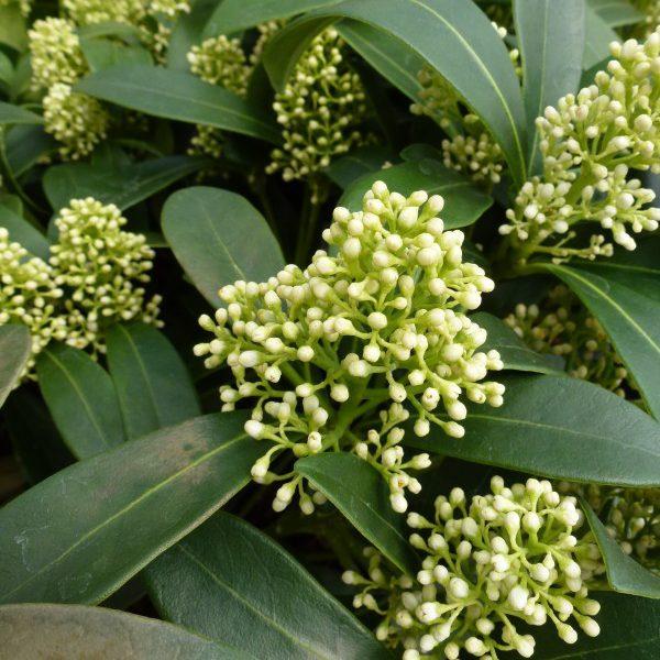 Skimmia japonica Finchy