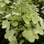 Hydrangea paniculata Wims Red – Pluimhortensia