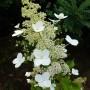 Hydrangea paniculata Kyusha – Pluimhortensia