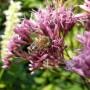 Bijen lokken – Planten die bijen lokken