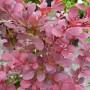 Berberis thunbergii Atropurpurea – Rode Zuurbes