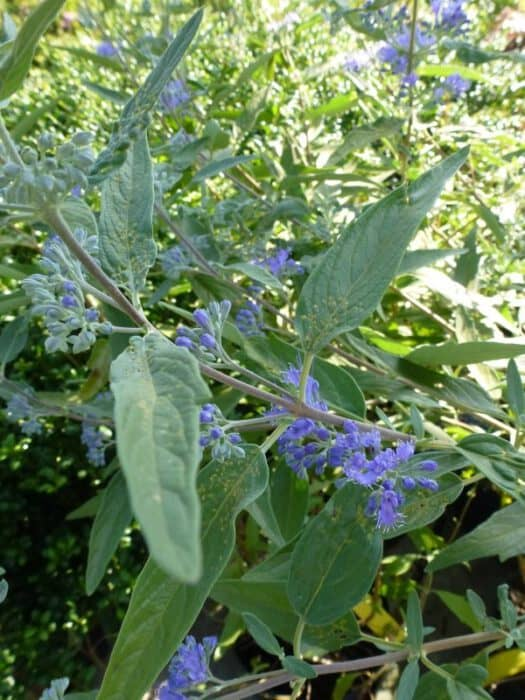 caryopteris clandonensis heavenly blue blauwe spirea. Black Bedroom Furniture Sets. Home Design Ideas