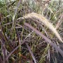 Pennisetum rubrum – Lampenpoetsergras