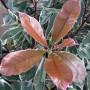 Photinia Pink Marble – Glansmispel