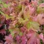 Viburnum opulus Compactum – Gelderse Roos