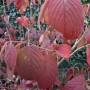 Viburnum plicatum Tomentosum – Japanse Sneeuwbal
