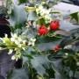 Ilex aquifolium Alaska – Hulst