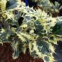 Ilex aquifolium Ferox Argentea / Bonte Egelhulst