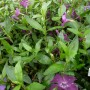 Vinca minor Atropurpurea – Kleine Maagdenpalm