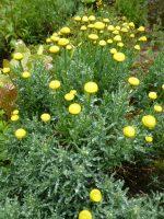 Santolina rosmarinifolia