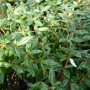 Berberis frikartii Amstelveen – Zuurbes