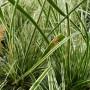 Carex oshimensis Everest – Zegge: standplaats, bloei, blad en verzorging