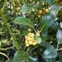 Ilex aquifolium Bacciflava – Hulst