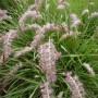 Pennisetum orientale – Lampepoetsersgras