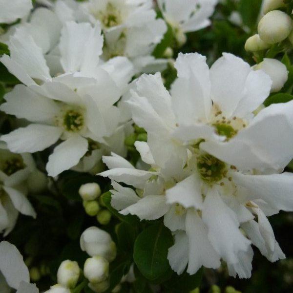 Wit bloeiende planten