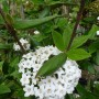 Viburnum burkwoodii – Sneeuwbal