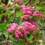 Rode Meidoorn – Crataegus laevigata Paul's Scarlet