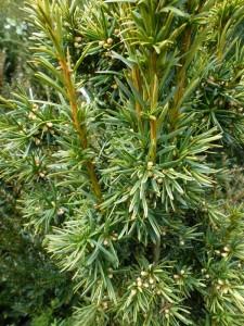 Taxus baccata Fasigiata Aurea