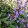 Salvia officinalis Purpurascens – Roodbladige Echte Salie