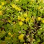 Lysimachia nummularia – Penningkruid