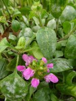 Prunella webbiana Rosea