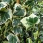Hedera helix Marginata Elegantissima – Bonte Klimop