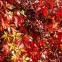 Parthenocissus quinquefolia Engelmanni – Wilde Wingerd
