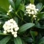 Skimmia japonica Kew White – Skimmia