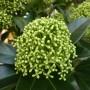 Skimmia japonica White Globe – Skimmia