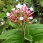 Viburnum burkwoodii Mohawk – Sneeuwbal