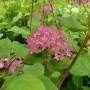 Hydrangea arborescens Pink Annabelle – Hydrangea Invincibelle
