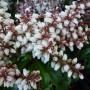 Pieris japonica Bonfire – Rotsheide