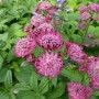 Astrantia carniolica Rubra – Zeeuws knoopje