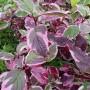 Cornus alba Sibirica Variegata – Bonte Kornoelje