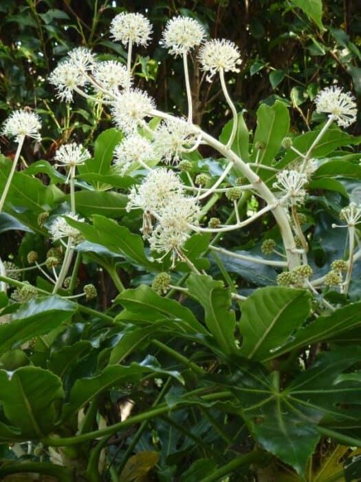 Vingerplant