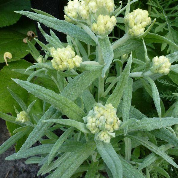 Helichrysum Schwefellicht