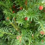 Taxus media Hicksii – Venijnboom