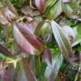 Trachelospermum jasminoides – Toscaanse jasmijn – Sterjasmijn