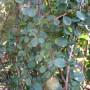 Cotoneaster dammeri Winter Jewel – Dwergmispel