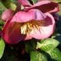 Helleborus Penny's Pink – Kerstroos – Nieskruid