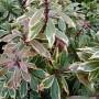 Pieris japonica Carnaval – Rotsheide – Lavendelheide