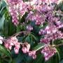 Pieris japonica Katsura – Rotsheide