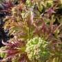 Sambucus racemosa Sutherland Gold – Trosvlier