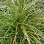 Thuja plicata Whipcord – Westerse Levensboom