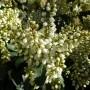 Pieris japonica White Pearl – Rotsheide