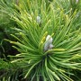 Pinus mugo var. Mugho – Bergden
