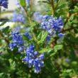 Ceanothus Puget Blue – Amerikaanse Sering