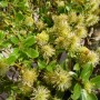Salix arbuscula – Dwergwilg