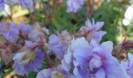 Geranium pratense Summer Skies